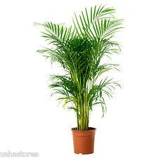 100 Seeds Dypsis lutescens Chrysalidocarpus lutescens bamboo palm areca palm