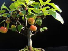 10 Mini Apple (Malus Halliana) Fruit Tree Bonsai Seeds, Exotic Home Bonsai Seeds