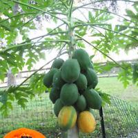 Thai Dwarf Papaya Fruit Seeds Paw Miniature Dwarf Papaya Fruit Seeds Bonsai Rare