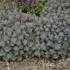 3 Plants Sedum Dazzleberry Perennial Ground Cover These plants are awesome