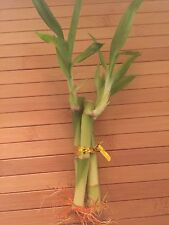 "3 Live Lucky Bamboo 4"" Straight Indoor Plant Good Luck Feng Shui"