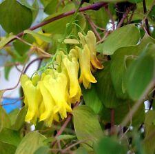 """DICENTRA SCANDENS """"GOLDEN TEARS"""",CLIMBING BLEEDING HEART 20 seeds"""