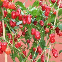 Giant rote Chilli scharfe Chili über 500 Früchte pro Pflanze Capsicum chinense