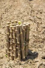 CASSAVA -Manihot esculenta - Yuca stem 4 - L I V E- cuttings 100% GERMINATE