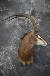 African Sable taxidermy shoulder mount for sale SKU 1971