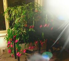 5 Cuts True Old Fashion Christmas Cactus Schlumbergera Buckleyi Epiphyllum Hoya