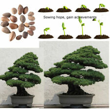 20pcs Japanese White Pine Pinus parviflora Green Tree Plant Bonsai Seeds Home
