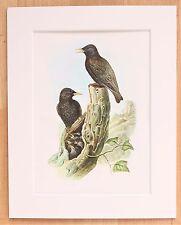 Starlings - Mounted Vintage John Gould Bird Print 1960s Book Plate