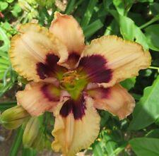 Daylily Plant HOODWINKED 2 Fans Perennial Selman Creamy White Purple