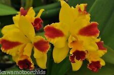 Bin-2) plants-Pot. Roy's Magic 'Carmela' Compact Cattleya! Super Color! Nice