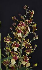 Oncidium Space Race Orchid Plant in spike