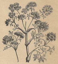 A4527 Ammoniaco gomma - Incisione - Stampa Antica del 1887