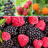 50Pcs Giant Raspberry Seeds, Garden Fruit Plant, Juicy And Delicious