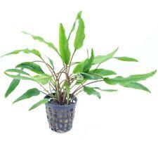 New listing 🌱Buy2 Get1 Free Cryptocoryne Crypt Lutea Medium Live Aquatic Plants