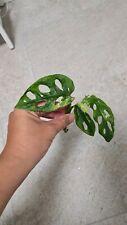 Monstera adansonii variegata rooted Top-cuttings