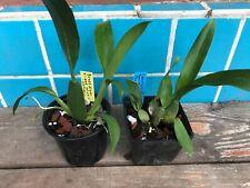 Near Bloom Size Combo: Brassidium Gilded Urchin & Odontocidium Sunlight Hcc/Aos