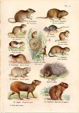 Stampa antica animali Sorcio Istrice Capibara Lemming Aguti 1914 Old print