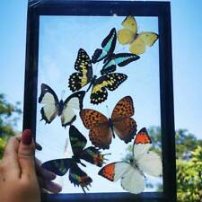 7 Real Mix Thai Beautiful Butterfly Taxidermy Insect Display Double Glass Frame