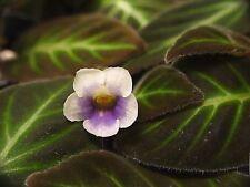 Gloxinella Lindeniana Gesneriad African Violet Relative Terrarium Plant Gloxinia