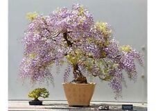 500 Princess Tree Seeds Paulownia Tomentosa Fast Grower Bonsai or Landscape
