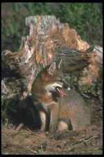 109036 Gray Fox Otoño A4 Foto Impresión
