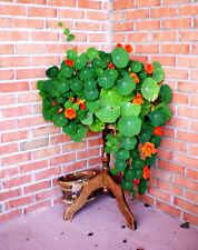 Garden Nasturtium Seed 6 Seeds Tropaeolum Dry Lotus Flower Garden Seeds Hot A017