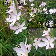 Schizostylis coccinae -  Kaffir Lily - Hardy Perennial - 40+Seeds