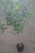 Dwarf Apple Tree 5ltr
