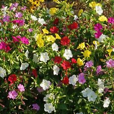 Mirabilis jalapa Four o'Clock flower plant Tropical Ornaments flower -2 Tubers
