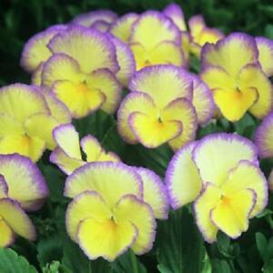 Viola Cornuta 'Etain' Perennial Alpine Plug Plants Pack x6