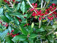 Ilex cornuta 'Needlepoint' Holly, 100 plants, evergreen, FREE Delivery