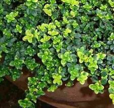CREEPING MT TOMAH Thyme mauve flowers herb plant  in 100mm pot