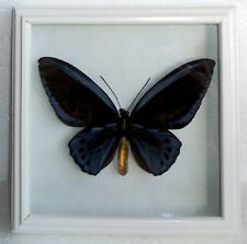 Ornithoptera priamus urvillianus male in vintage frame made of expensive wood !