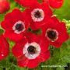 "5 x anemone coronaria ""hollandia"" (griffes, taille 5-6) (envoi gratuit)"
