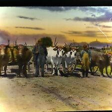 Vtg Magic Lantern Glass Slide Photo Men An Decorated Oxen & Carts Nova Scotia