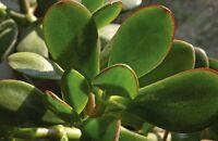 Crassula Ovata /  Jade Plant / Money Tree/ Rooted