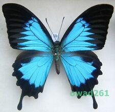 Papilio ulysses Linnaeus, 1758 Indonesia 98mm1b