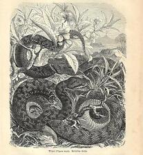 Stampa antica SERPENTI ASPIDE o VIPERA Vipera aspis 1891 Old antique print