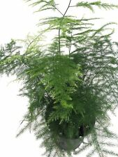 *1000 fresh Seeds*Asparagus Plumosus*Asparagus Fern*free shipping*