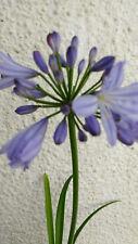 DWARF AGAPANTHUS LITTLE DUTCH BLUE PALE BLUE FLOWERS LATE SUMMER 45CM STEM  13CM
