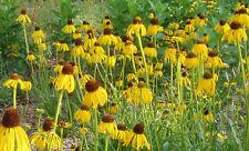 coneflower, Prairie, Likes It Dry, yellow flower, 600 seeds! GroCo