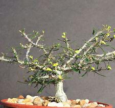 Euphorbia NEOBOSSERI exotic color madagascar rare bonsai blue cacti seed 5 seeds