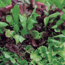 LETTUCE MIX Saladini ORGANIC SEED Colourful leaves. Attractive salad. Cut often.