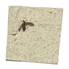 Mouche fossile sur plaque