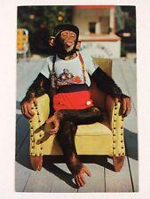 Chimpanzee at Monkey Jungle Island Miami, Florida Chrome Postcard Unused