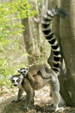 RING TAILED LEMUR ~ PIGGY BACK RIDE 24x36 NATURE POSTER Madagascar Mother Child