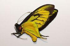 Ornithoptera paradisea arfakensis M no1