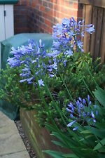 "30 x AGAPANTHUS AFRICANUS Seeds - Perennial ""Blue African Lily Of The Nile"""