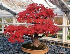 Arce Rojo Acer Rubrum bonsai 25 semillas / seeds