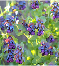 Honeywort Blue Shrimp Plant Seeds Blue Wax Flowers Purpurascens Cerinthe Garden
